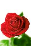 Rose dans les baisses Images libres de droits