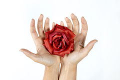 Rose dans les mains Photos stock