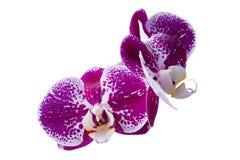 Rose dans les orchidées repérées d'isolement sur le fond blanc images stock