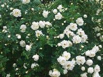 Rose dans mon jardin images stock