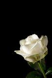 Rose dans un coin Photo libre de droits
