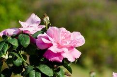 Rose dans un jardin Images libres de droits