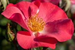 Rose dans un jardin botanique Images stock