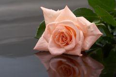Rose on a dark background royalty free stock images