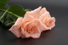 Rose on a dark background Stock Photo