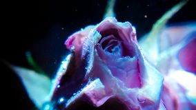 Beautiful rose in water with bubbles on dark background stock images