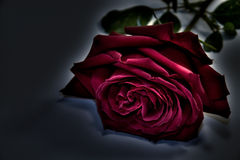 Rose In Darkness Stock Images
