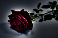 Rose In Darkness Royalty Free Stock Photo
