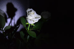 Rose in the darkness Royalty Free Stock Images