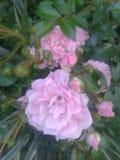 Rose de Rose Image stock