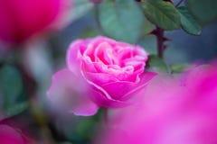 Rose de rose au foyer parmi des fleurs Photographie stock libre de droits