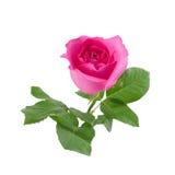 Rose de rose avec des feuilles de vert d'isolement sur le blanc Photo stock