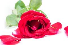 Rose de rose avec des pétales sur le fond blanc Fleur fraîche avec le pétale de velours Photographie stock