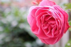 Rose de rose avec l'espace vert de fond et de textes Images libres de droits