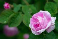 Rose de rose avec une baisse de l'eau d'un arrosage et d'une rose de vert de tache floue Images stock