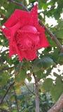 Rose de beau Images stock