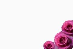 Rose de beautifu de fond de Rose, rose rouge d'isolement sur le blanc blanc de noir de fond Image stock
