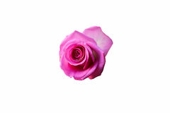 Rose de beautifu de fond de Rose, rose rouge d'isolement sur le fond blanc Photographie stock
