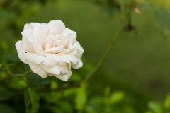 Rose de blanc Photographie stock