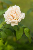 Rose de blanc Photo stock