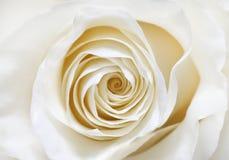 Rose de blanc Image libre de droits