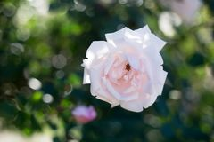 Rose de blanc au foyer Image libre de droits