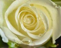 Rose de blanc avec de grandes gouttelettes d'eau Images libres de droits