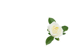 Rose de blanc avec des feuilles de vert d'isolement sur le blanc Photo libre de droits