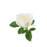 Rose de blanc avec des feuilles de vert d'isolement sur le blanc Photo stock