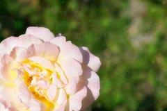 Rose de blanc avec le bokeh vert étonnant Images stock
