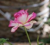 Rose de blanc avec les astuces roses, vue de côté Images stock