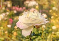 Rose de blanc avec les taches roses photos libres de droits