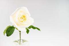 Rose de blanc d'isolement sur le fond blanc Photo stock