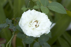 Rose de blanc dans la nature Photos libres de droits