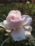 Rose de blanc dans le jardin photographie stock libre de droits