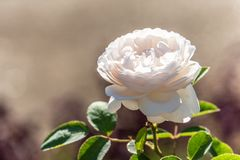 Rose de blanc dans un jardin photo stock