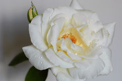 Rose de blanc de neige Photographie stock