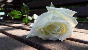 Rose de blanc du jardin Photos libres de droits