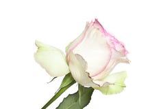 Rose de blanc et de rose Photographie stock libre de droits