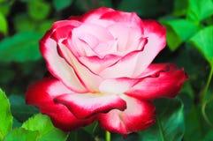 Rose de blanc et de rouge avec le fond vert Images libres de droits