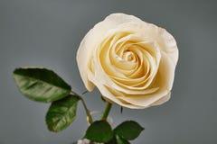 Rose de blanc sur un fond gris dans le studio Photo libre de droits