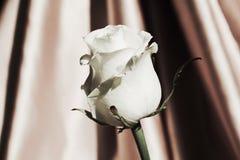 Rose de blanc, symbole de la pureté photographie stock libre de droits
