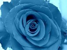 Rose de bleu sous la pluie Image stock