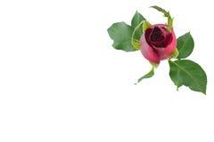 Rose de bourgeonnement de rouge avec les feuilles vertes photo libre de droits