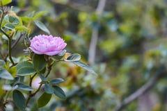Rose de castille sur un fond vert photographie stock libre de droits