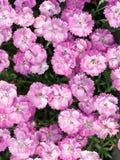 Rose de cheddar Image libre de droits