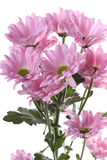 rose de chrysanthemum Image stock