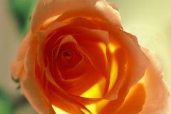 Rose de color salmón Imagen de archivo libre de regalías
