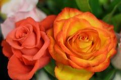Rose de corail et jaune/rouge photo libre de droits