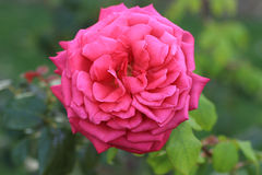Rose de cramoisi dans un jardin photos stock